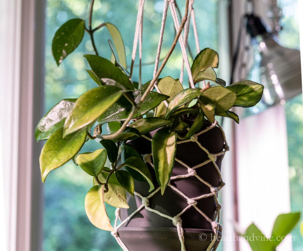 Hanging variegated hoya plant.