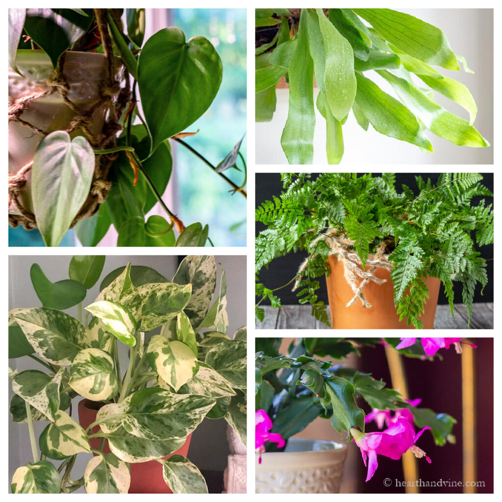 Christmas cactus, rabbit's foot fern, staghorn fern, pothos, and philodendron indoor plants for low light.