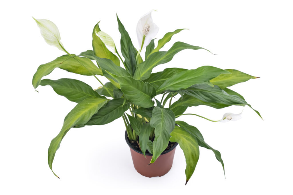 Peace lily in flower.