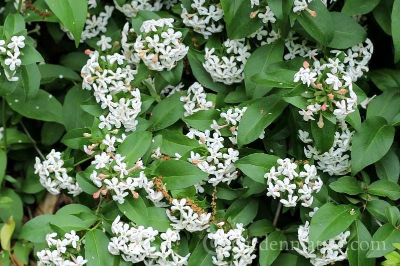 Abelia in Flower ~ gardenmatter.com