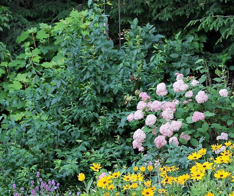 Abelia in garden - 5 more shrubs to grow - gardenmatter.com