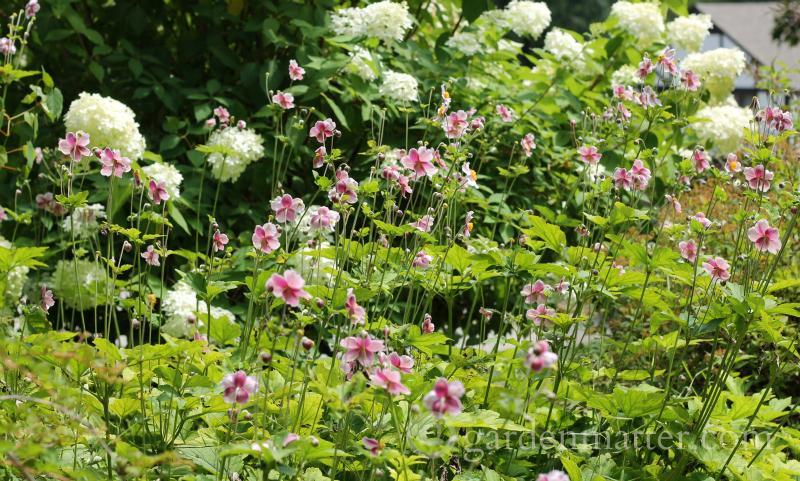 Anemone 'September Charm' - gardenmatter.com