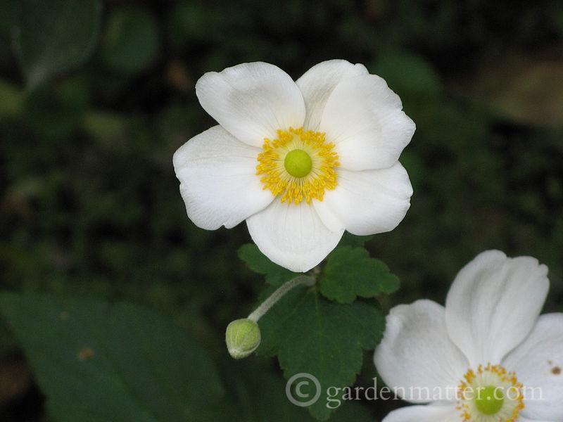 Anemone 'Honorine Jobert' ~ New to Me ~ gardenmatter.com