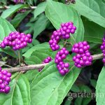 A Must Have In the Garden: Callicarpa Beautyberry Bush