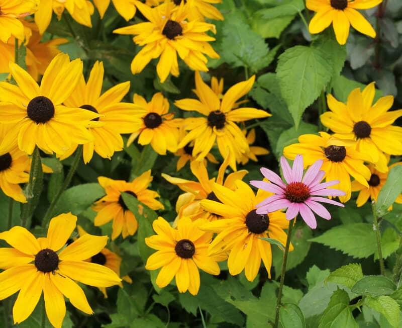 Black Eyed Susan - Dividing Perennials - gardenmatter.com