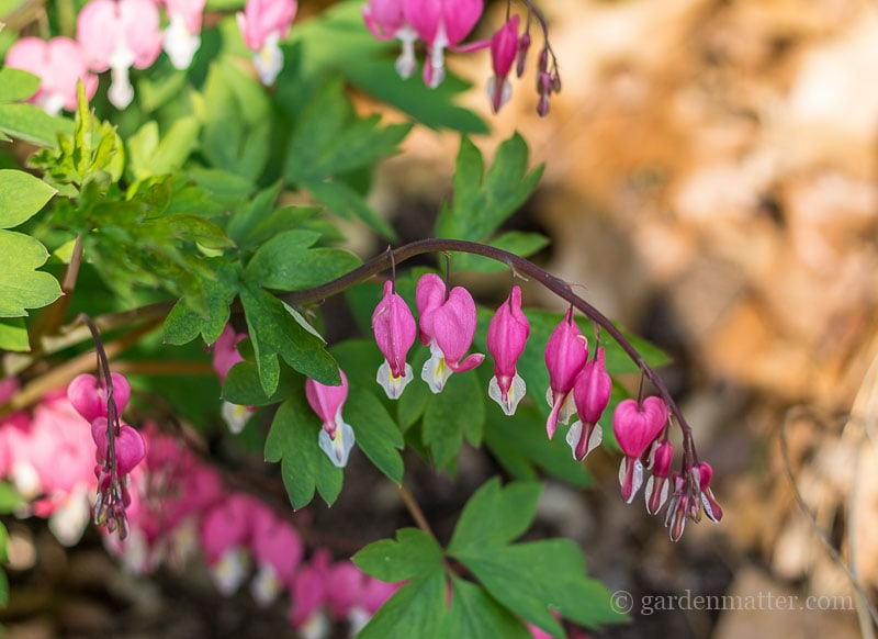 Bleeding Heart ~ Deer Resistant Plants ~ gardenmatter.com