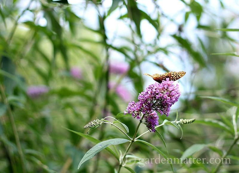 Butterfly Bush with butterfly - 5 more must have shrubs - gardenmatter.com