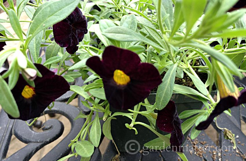 Black Calibrachoa ~Favorite Annual Flowers