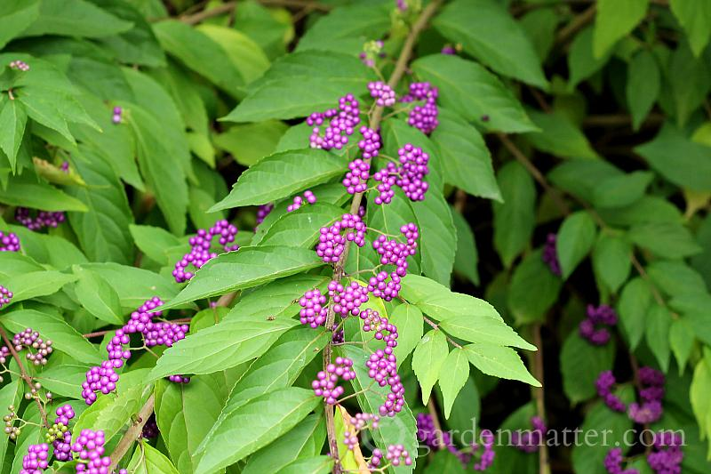 Beautyberry branch