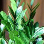 Close up of leaves - ZZ Plant - gardenmatter.com