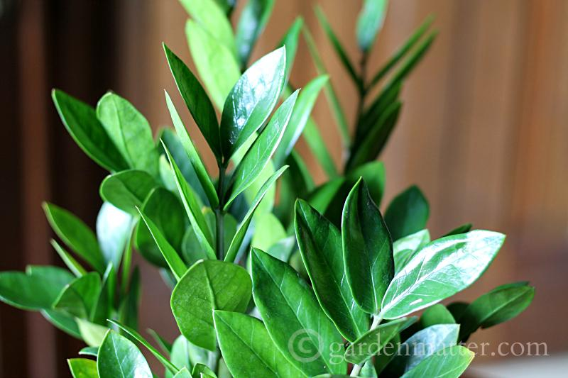 Close up of leaves - ZZ Plant - gardenmatter.com