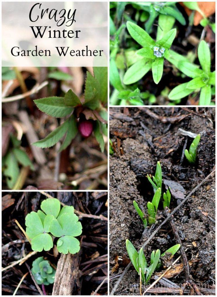 Collage - Crazy Winter Garden Weather - gardenmatter.com