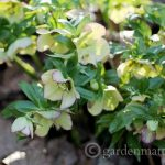 Cream Hellebore - The Lenten Rose - gardenmatter.com
