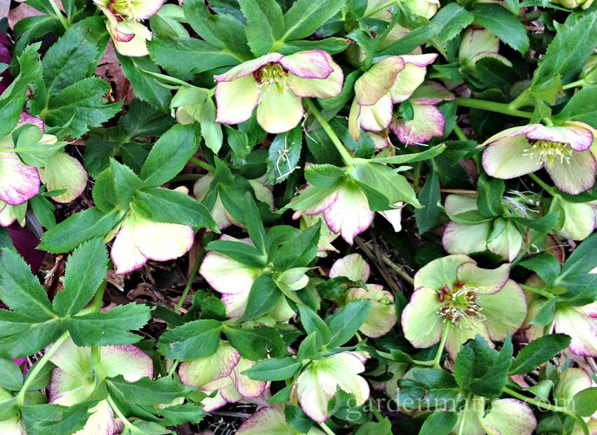 Cream Hellebore ~Lenten Rose ~gardenmatter.com