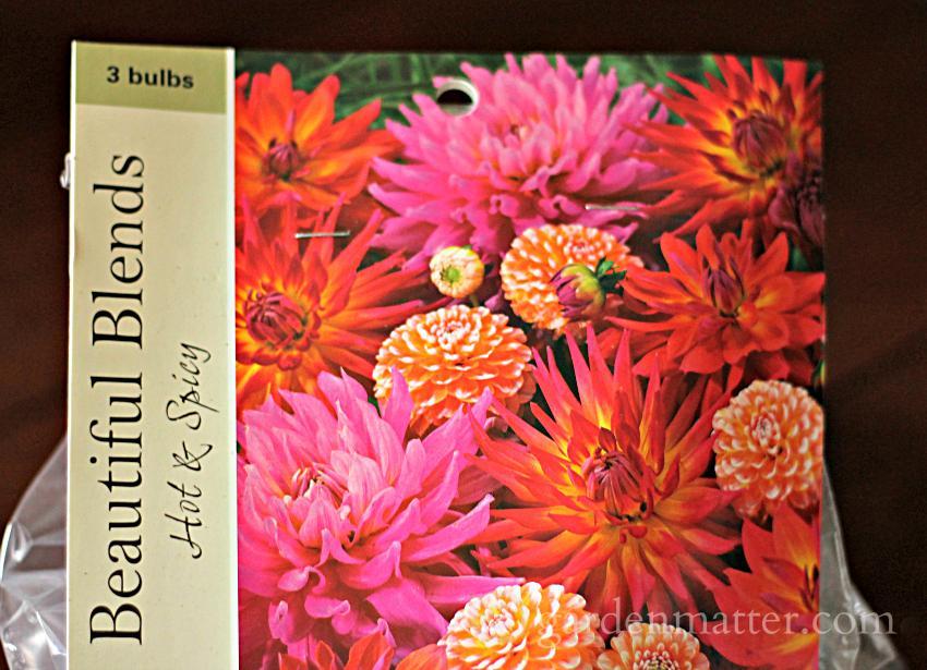 Dahlia Pkg of bulbs ~gardenmatter.com