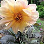 For the Love of Dahlias Beautiful Flowering Late Summer Bulbs