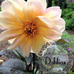 Dahlia cover ~gardenmatter.com