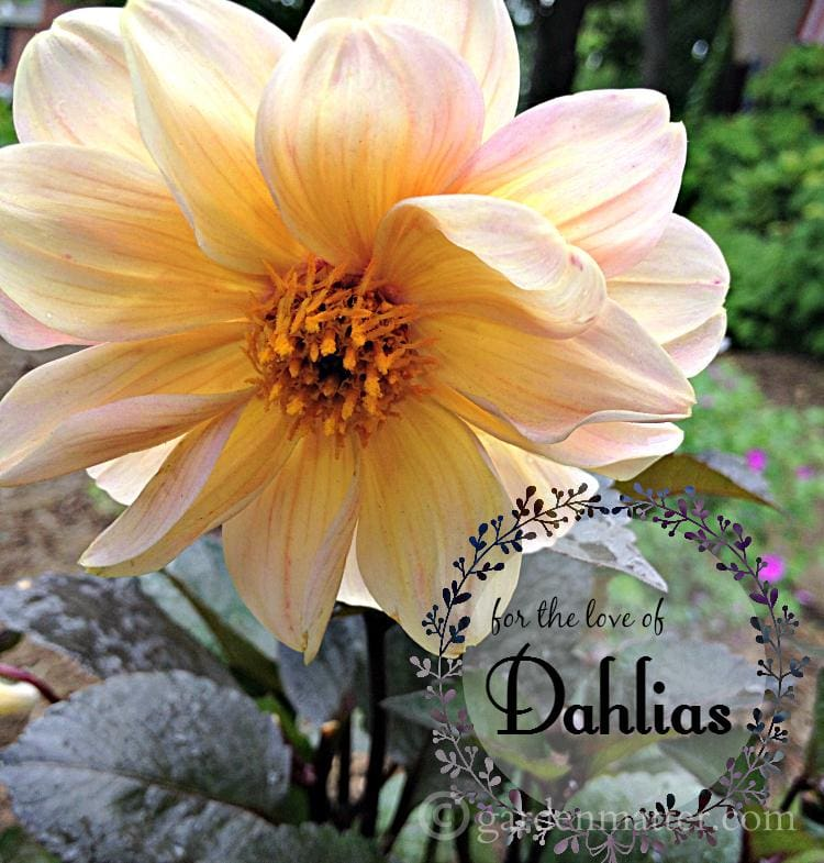 single peach dark foliage ~ growing beautiful dahlias