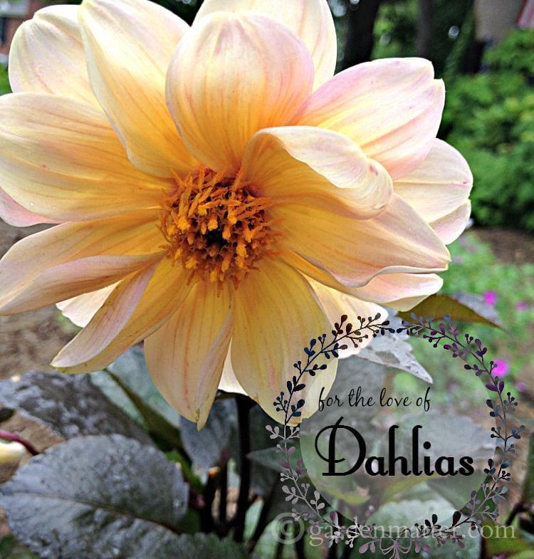 single peach dark foliage ~ love of dahlias ~gardenmatter.com