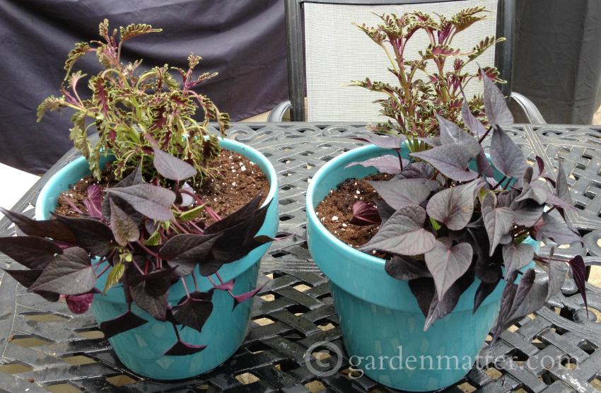 Dark Annuals in Blue Pots gardenmatter.com