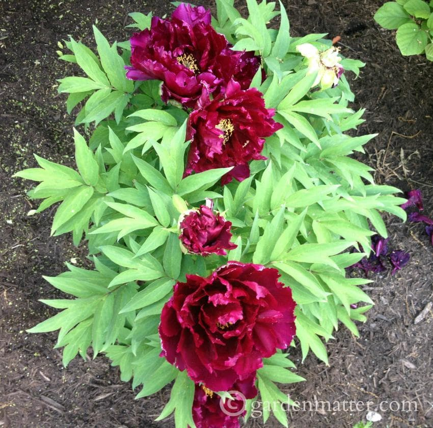 Dark red tree peony shrub