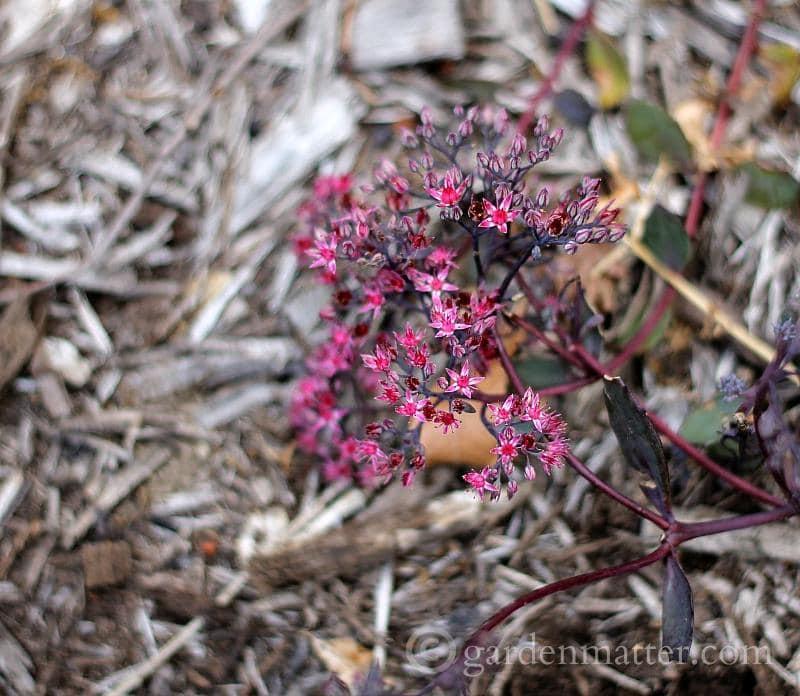 Low growing sedum blooms