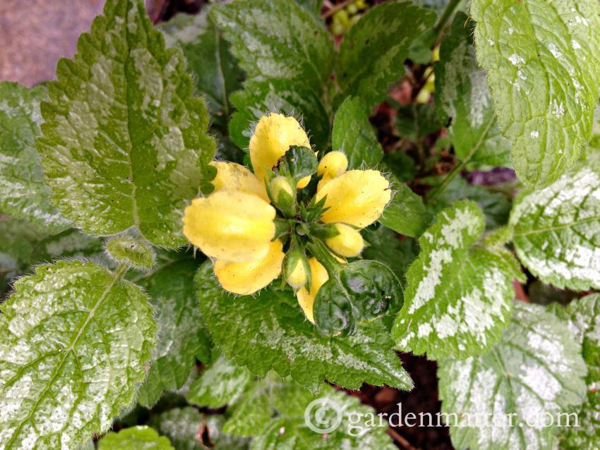Dead Nettle flower
