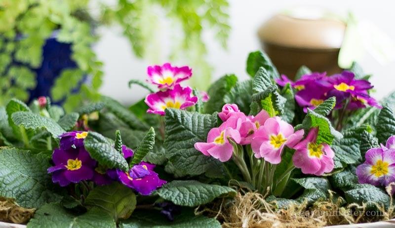 Primrose basket ~ primrose passion ~ gardenmatter.com