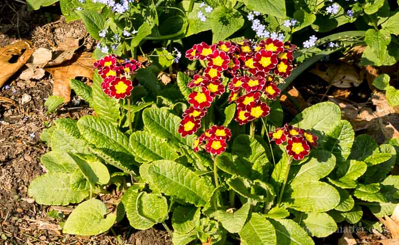 Dino's Primrose patch ~ primrose passion ~ gardenmatter.com