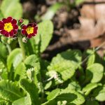 Primrose Passion – Beautiful Spring Blooms You'll Want in Your Garden