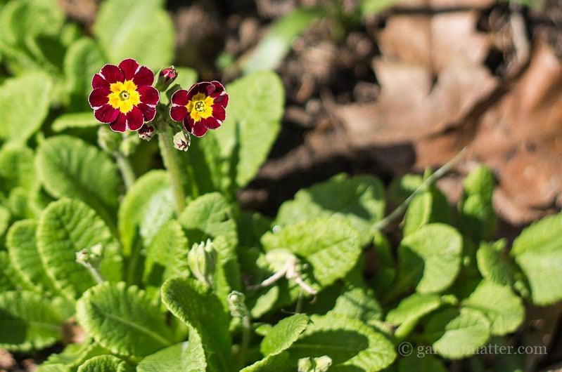 Dino's Primrose ~ primrose passion ~ gardenmatter.com