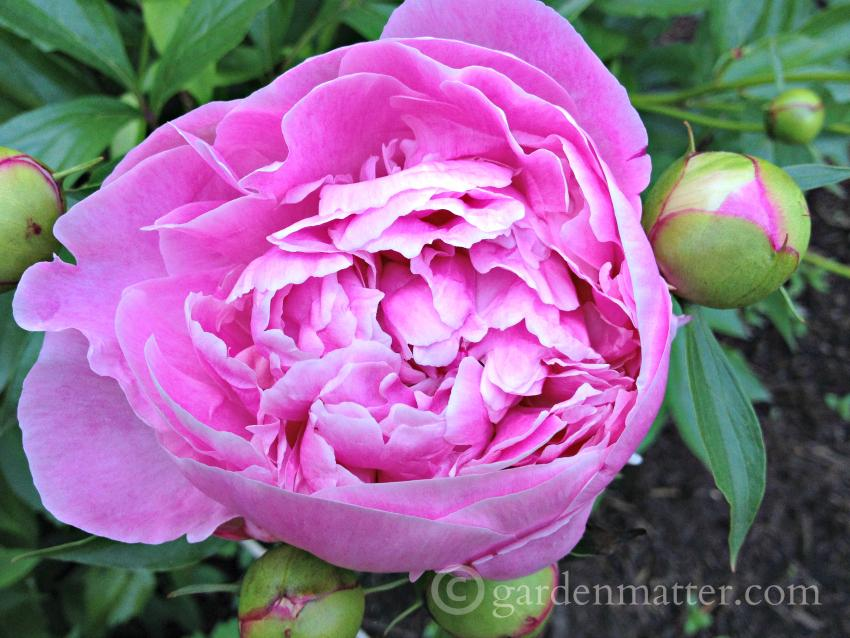 Herbaceous peony Dr Alexander Flemming