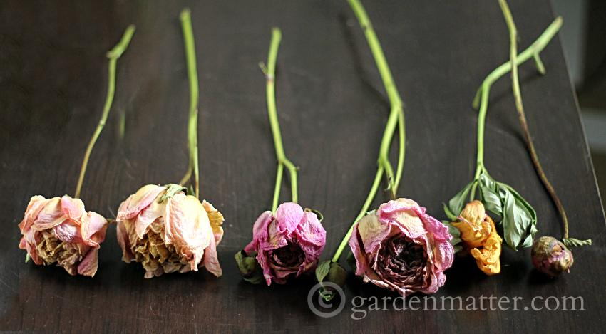 Dried Peonies - Shadow Box Dried Peonies