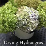 Learn how easy it is to dried your hydrangeas for long lasting beauty you can use in all kinds of decorating projects.