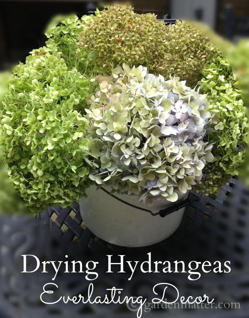 Learn more about drying hydrangeas for long lasting beauty you can use in all kinds of decorating projects around the home.