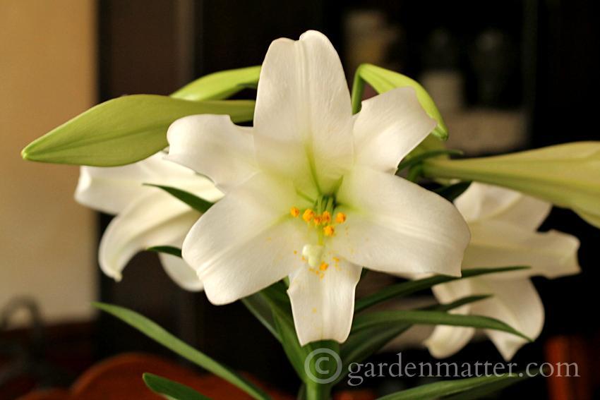 Easter Lily flower ~ Easter Lilies ~ gardenmatter.com