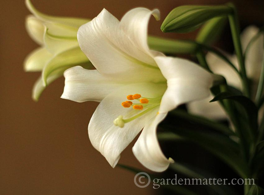 Easter Lily side ~ Easter Lilies ~ gardenmatter.com