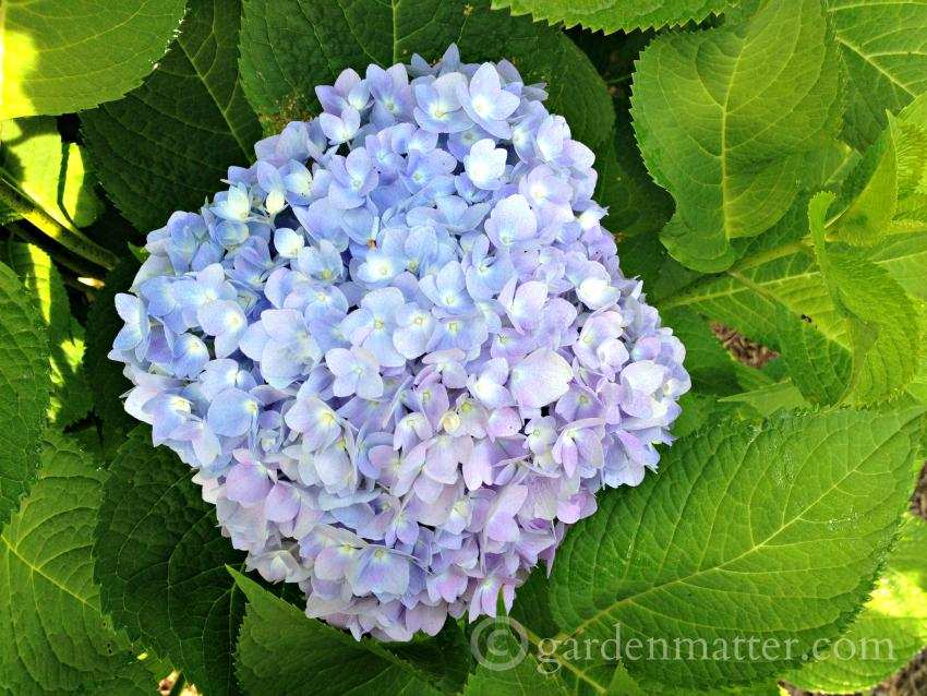 Hydrangea macrophylla 'Endless Summer' ~ tips on growing hydrangeas ~ gardenmatter.com