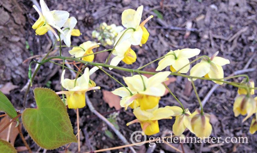 Epemedium flowers