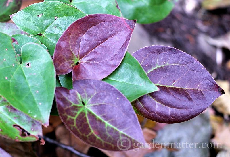Epimedium fall color