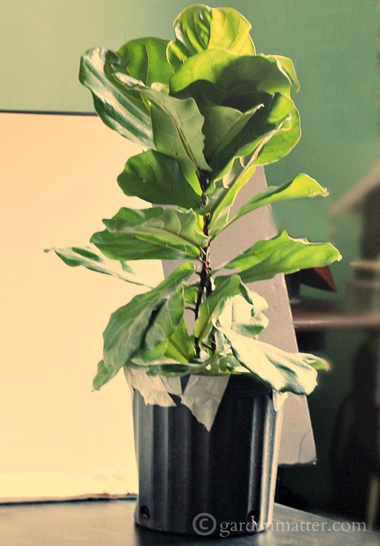 Mail order Fiddle Leaf Fig Tree out of box.
