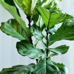 Fiddle Leaf Fig Tree – Growing this Stunning Houseplant