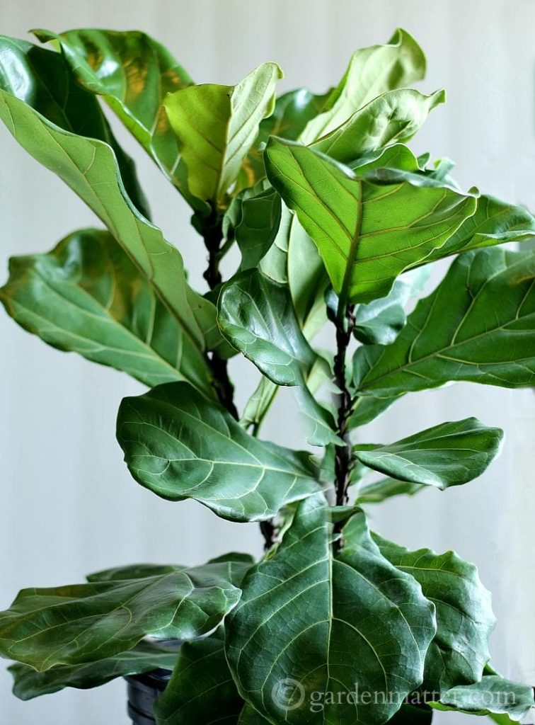 Growing A Fiddle Leaf Fig Tree
