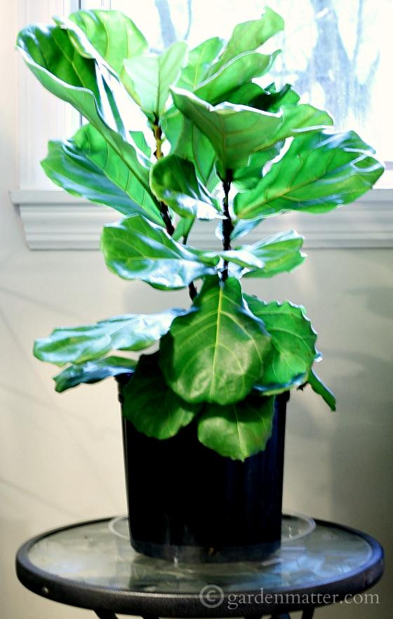 Fiddle Leaf Tree on table