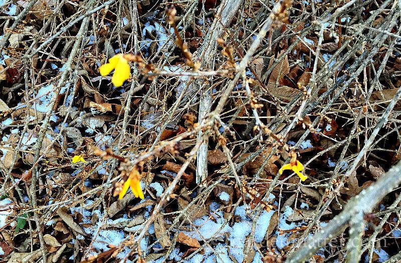 Forsythia in bloom - crazy winter garden weather - gardenmatter.com