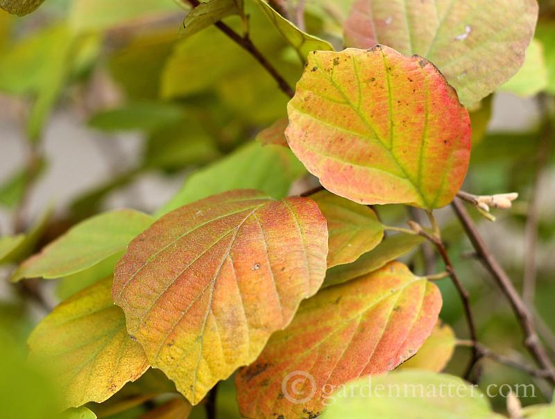 Fothergilla fall leaves