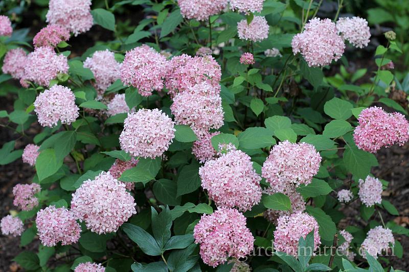 Hydrangea arborescens 'Invincibelle Spirit' - long blooming plants