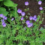Cuckoo for Cranesbills – Hardy Geraniums A Favorite in the Garden