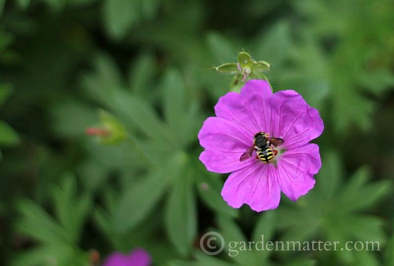 beneficial insects ~ 10 top gardening tips ~ gardenmatter.com