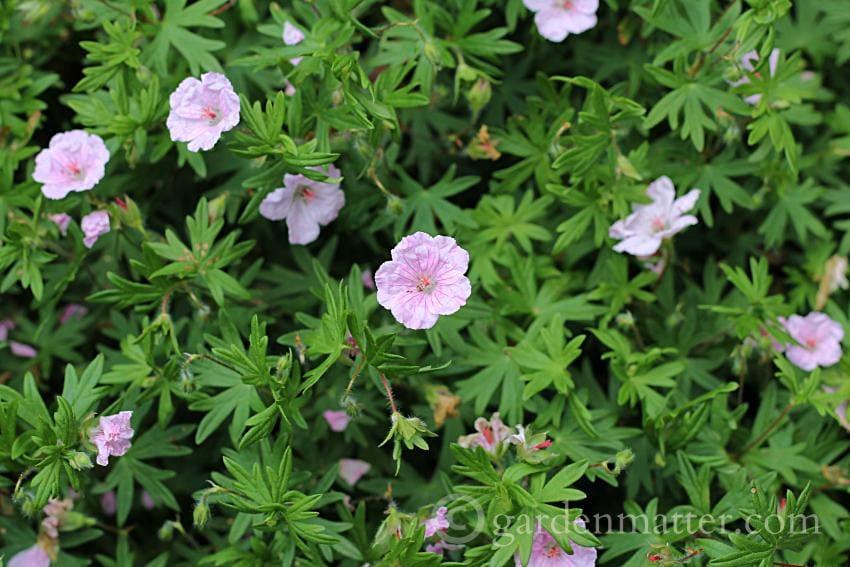 geranium cinereum ballerina ~ hardy perennials